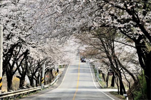 2경 옛37번 국도변 벚꽃길.png