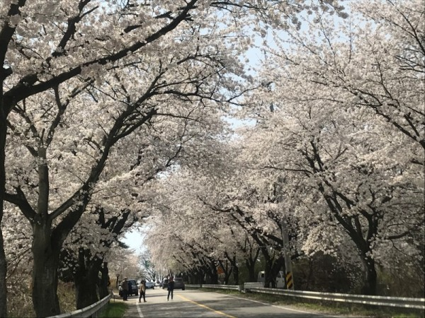 구읍 벚꽃길 (1).JPG