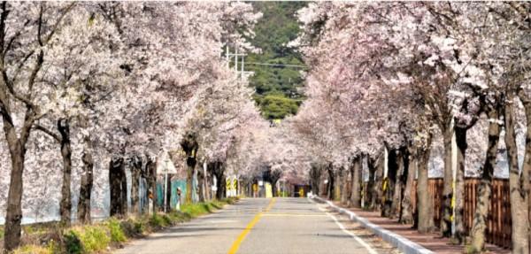 구읍 벚꽃길 (5).jpg