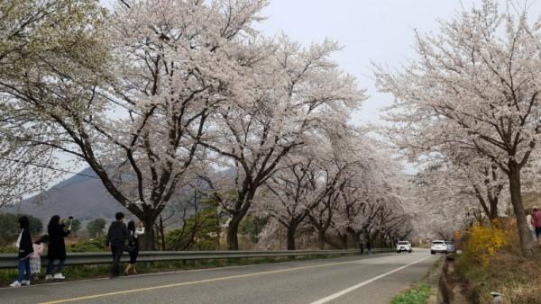 구읍 벚꽃길 (4).jpg